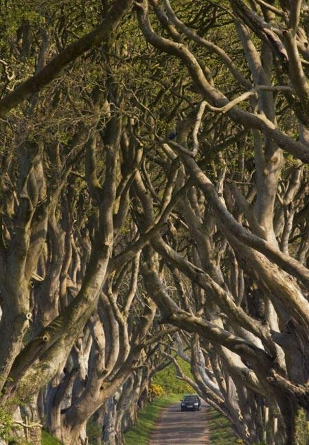 عکس های تونل درختی,تونلی از جنس درخت در ایرلند,مکانهای دیدنی ایرلند