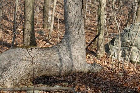 درختان غیر عادی, درختان خمیده, عجایب طبیعت