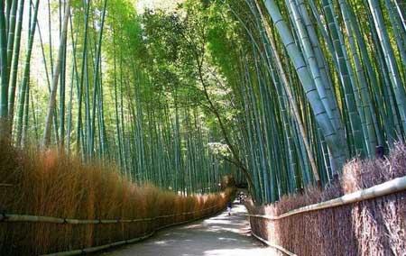 جنگل زیبای بامبو در ژاپن,جاهای دیدنی ژاپن