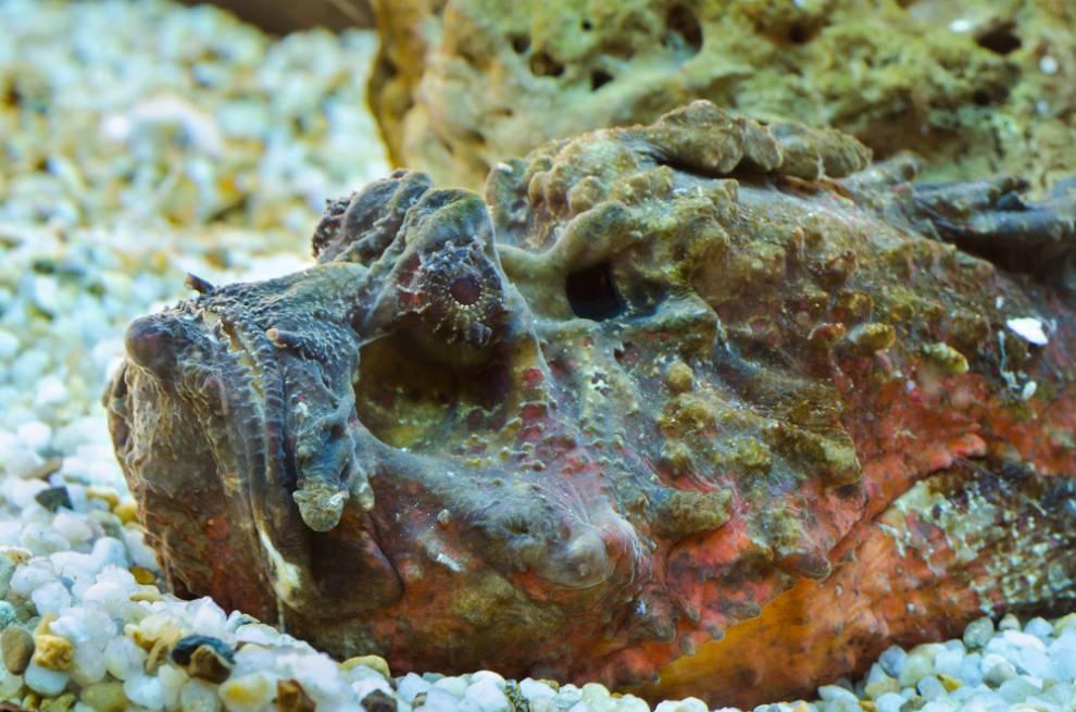 ماهی گوش سنگی خطرناک ترین ماهی جهان!!
